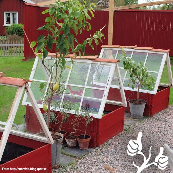 Miniväxthus av pallkragar och gamla fönster